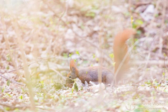 Eichhörnchen im Tierpark
