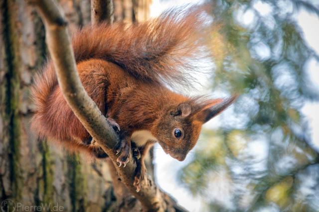 Eichhörnchen-Closeup