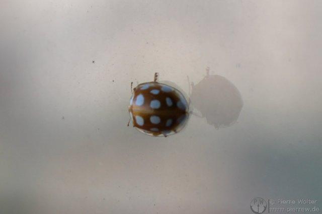 Sechszehnpunktmarienkäfer in Braun mit weissen Punkten