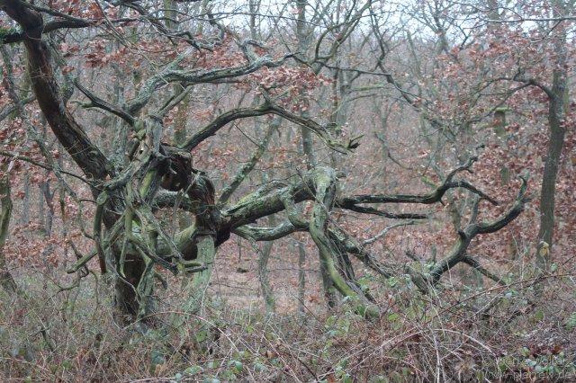 Merkwürdiger Baum auf dem Rotenfels