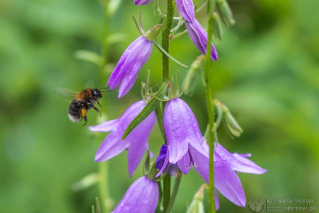 Blumen / Blüten mit Hummel