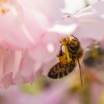 Biene an Kirschblüte