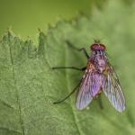Fliege (Makro)