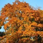 Baum im Herbstmantel
