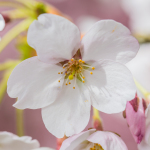 Kirschblüte 2015