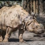 Zoo Berlin // Panzernashorn
