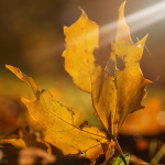 Herbstliche Nahaufnahme Laub/Blatt