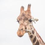 Portrait einer Uganda-Giraffe