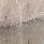 Eisvögel in der Ferne und gespiegelt