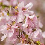 Kirschblüten beim Kirschblütenfest
