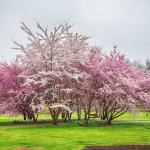 Kirschblüten 2016, Gärten der Welt