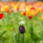Dunkle Tulpe inmitten von Roten/Gelben Tulpen