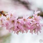 Kirschblüten 2016