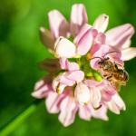 Bienchen auf Plümchen