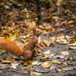 Eichhörnchen, Puschelchen :-)