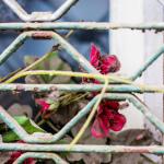 Blumen in Arsche hinter Gittern