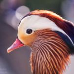 Portrait einer Mandarinente