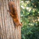 Berliner Eichhörnchen