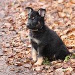 Hund: Hundebaby im Laub