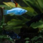 Fische im Aquarium