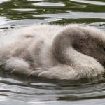 Babyschwan