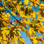 Goldener Herbst / Gelbe Blätter, blauer Himmel