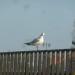 17.03.2012: Funny Gull