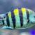 Feldwebelfisch