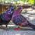 Tauben bei Streit