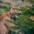 Tierpark Berlin // Südafrikanischer Karakal