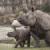 Panzer-Nashörner / Mutter und Kind