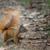 Eichhörnchen im Park