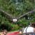 Weißkopfseeadler im Anflug - Ducken!