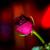 Rose in Handyblitzlicht :-D
