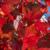 Herbst - Rote Blätter im Sonnenlicht