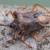 Rotbeinige Baumwanze (Pentatoma rufipes)